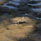 Sandpiper,  Mazatlan, Sinaloa, Mexico by Verna  Perry