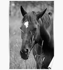 Horse Portrait - BW Poster