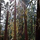 Sun Rays through Moss Covered Redwoods in Yosemite National Park by HeavenOnEarth