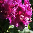 Jonathan Shaw Rhododendron by Pat Yager