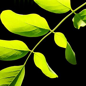 Lime Leaves on Black by Kitsmumma