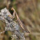 Preying Mantis  by Lynda   McDonald