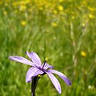 Blue Eyed Grass and Buttercups by Jess Meacham