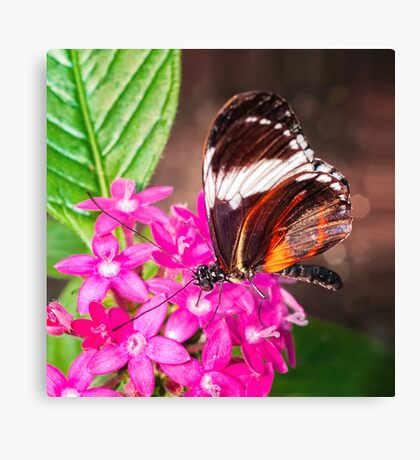Butterfly on Pink Penta Flowers Canvas Print