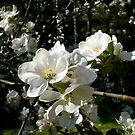 Apple Blossoms by Jess Meacham