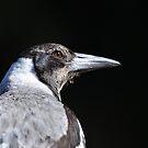 Juvenile Australian Magpie by Trevor Needham