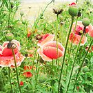 Vintage Poppies by Vitta