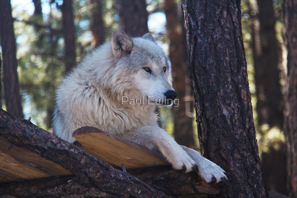 Timber Wolf Sentinel by Paul Ewing