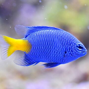 Blue devil fish by franceslewis