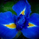 Iris by Keith G. Hawley