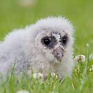 Baby Barn Owlet Owl Chick by Miles Herbert