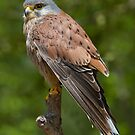 Male Kestrel by Miles Herbert