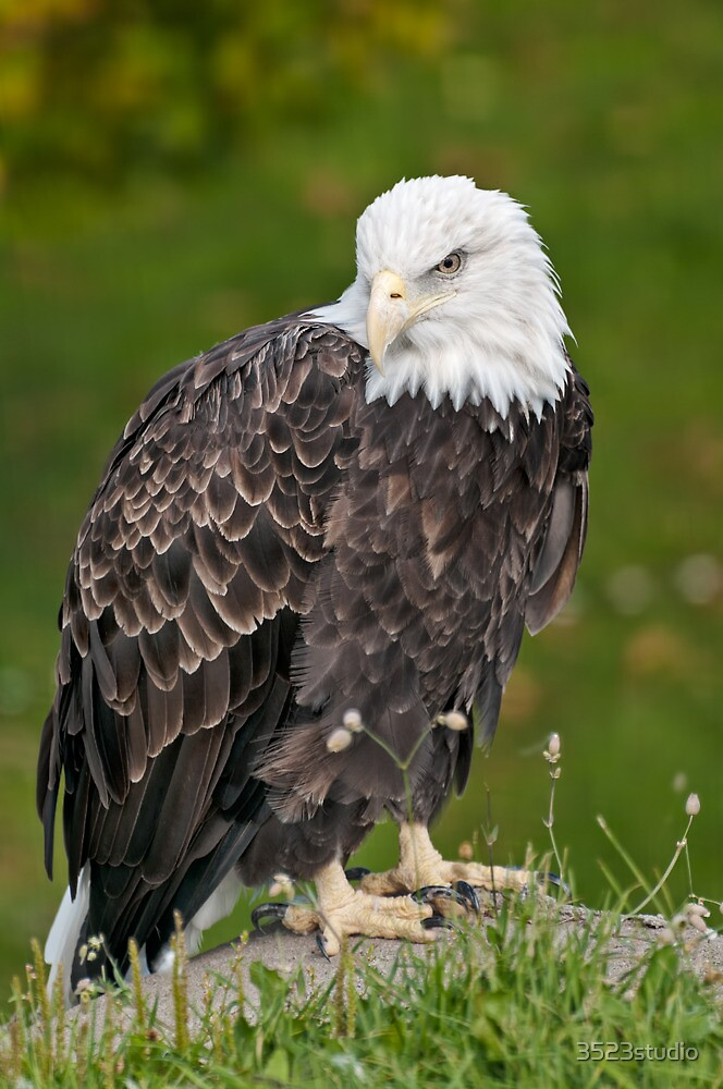 Bald eagle  by 3523studio