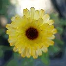 Lovely small yellow daisy flower. by naturematters