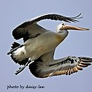 Pelican in flight 1 by daisy-lee