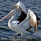 Pelican landing by daisy-lee
