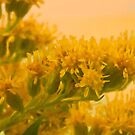 Golden Rod Solidago  by Sandra Foster