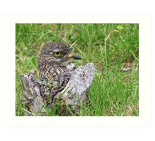 Spotted thick knee Art Print
