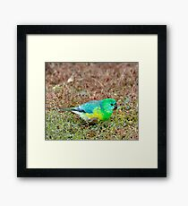 Red Rumped Parrot Framed Print