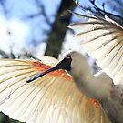 Royal Spoonbill  - Lake Mitchell  - Atherton Tableland FNQ by john  Lenagan