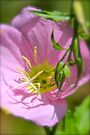 Showy Evening Primrose by NatureGreeting Cards ©ccwri