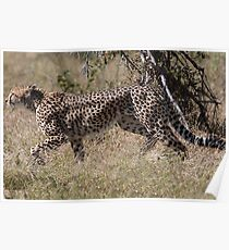 Cheetah on the Hunt Poster