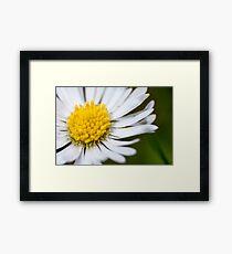 Single Daisy Framed Print
