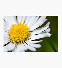 Single Daisy Photographic Print