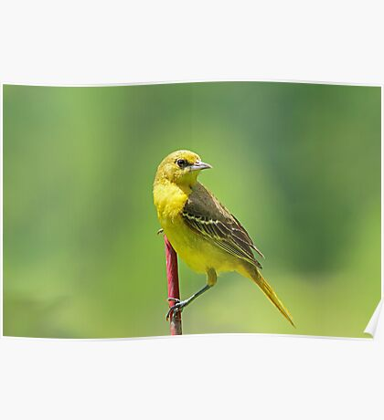 Mrs. Orchard Oriole Poster