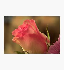 Soft Pink and White Rose, As Is Photographic Print