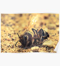small bee crashed in to the ground and died Poster