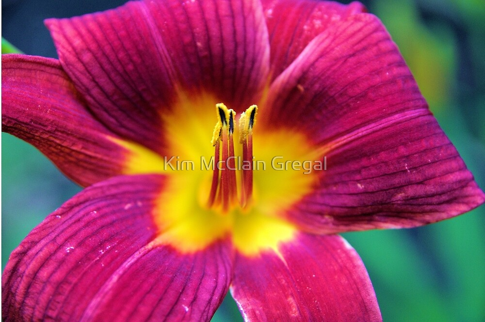 Red Daylilly by Kim McClain Gregal