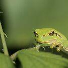 European tree frog (Hyla arborea) by Peter Wiggerman