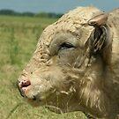 Bull by Peter Wiggerman