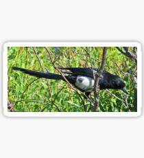 Magpie The Trickster Bird Sticker