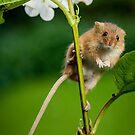 Harvest Mice 114 by Alan E Taylor