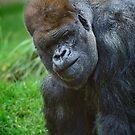 'Kibabu' a Silverback Gorilla by Chris  Randall