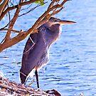 Blue Heron At The Market Common by ©Dawne M. Dunton