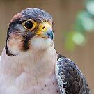 Hawk by Saranet