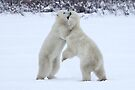 Polar Bear Skirmish by Carole-Anne