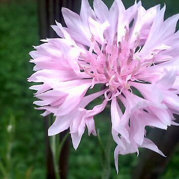 Delicate light pink flower by dharmadogstudio
