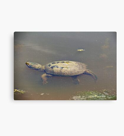 Old Mossy Back Snapping Turtle Canvas Print