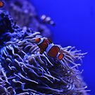 Clown Fish in Anemone Tentacles(3) by Christian Eccleston