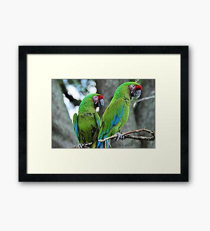 Great Green Macaws (Ara ambiguus) Framed Print