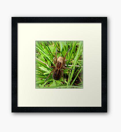 European Wolf Spider Framed Print