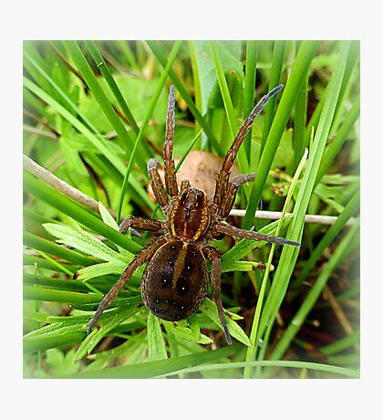 European Wolf Spider Photographic Print