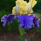 Blue and Yellow Bearded Iris by Penny Fawver