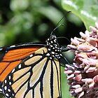 Monarch Butterfly on Milkweed by Sheryl Hopkins