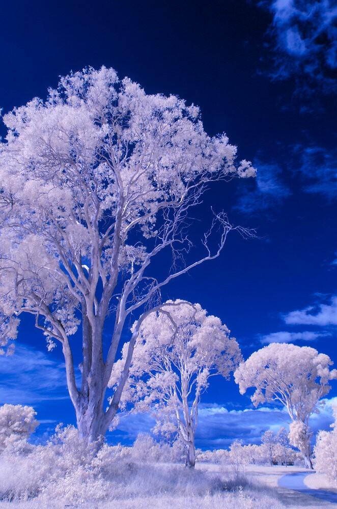Hope Island Reserve - Infrared Tree 1 by spiritoflife