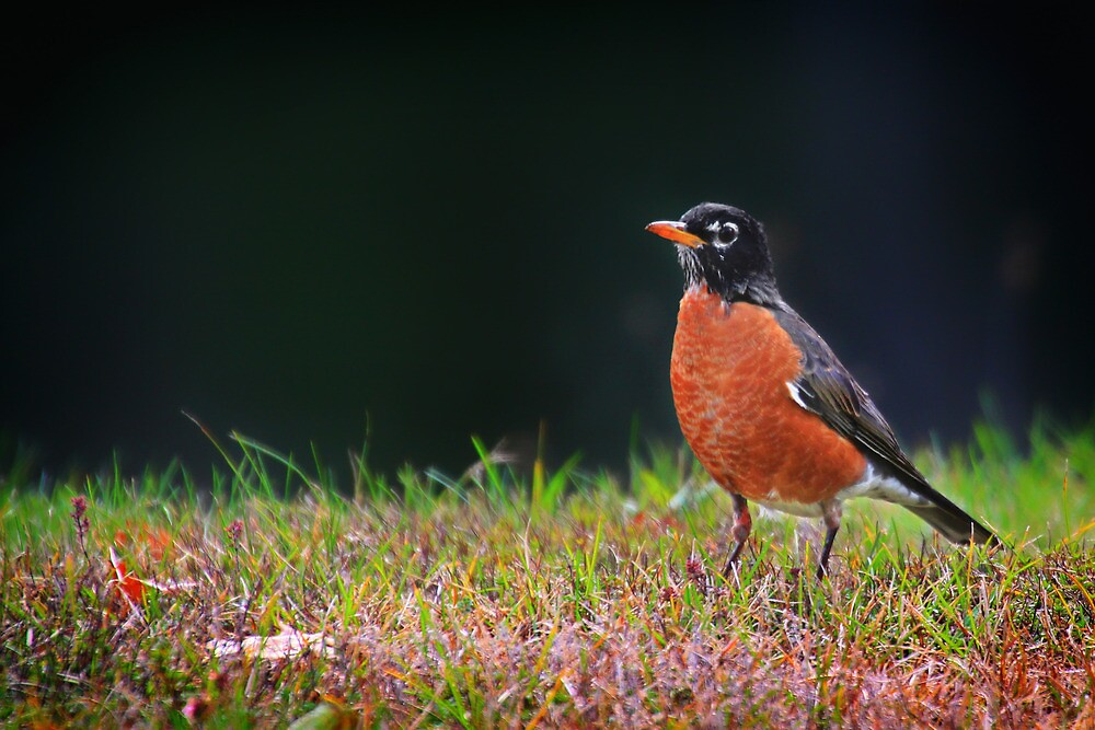 Robin in the Grass by Nazareth